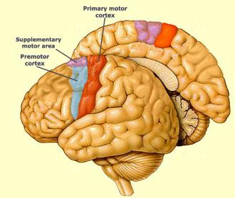 precentral_gyrus.jpg